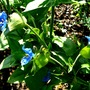 Commelina coelestis