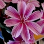 Lewisia_little_plum_