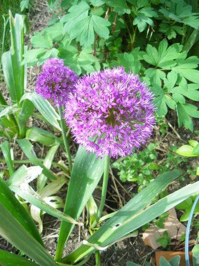 Allium Christophi