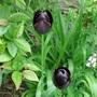 Tulip 'black night' i think!