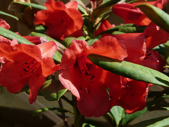 Rhododendron 'May Day' Hybrid