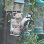 Lesser_spotted_woodpecker