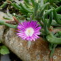 Delosperma (Delosperma Floribunda &#x27;stardust&#x27;)