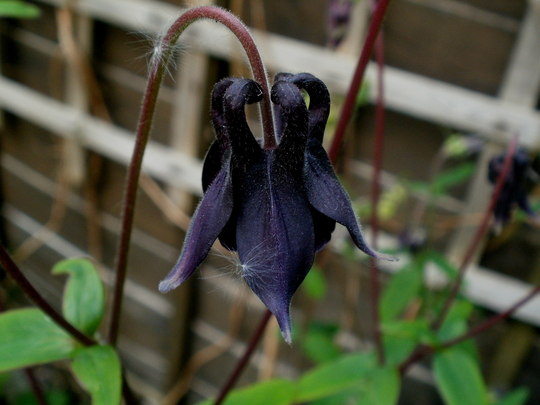virtually black (Aquilegia 'back')