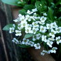 white alyssum (Lobularia maritima Snow Crystals)