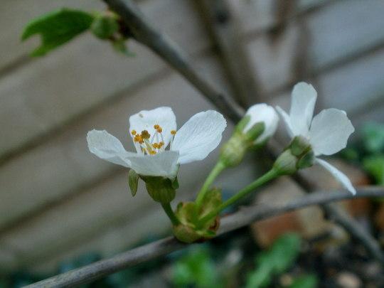 sweet cherry 'Stella' (Prunus avium 'Stella')