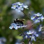 Forget_me_not_and_bee