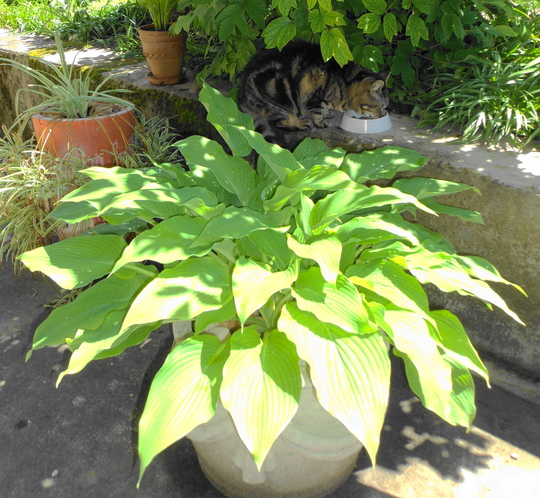 Unknown hosta and Lucy