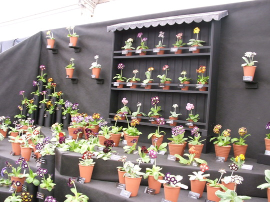 Auriculas stand - just for Cinders