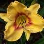 Eder Seedling 0084/05 (Hemerocallis)