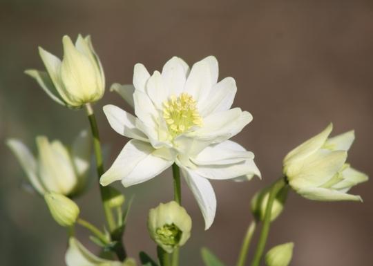 Aquilegia 'Clementine white'