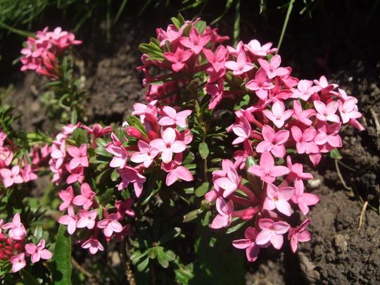 Daphne cneorum (Daphne cneorum (Brijacica))