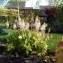 Tiarella 'Spring Symphony' - Foam Flower (Tiarella)