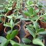 Money Plant Cuttings (Crassula ovata (Jade tree))