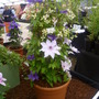 At least 3 different Clematis