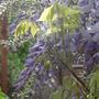 My wisteria sinensis (Wisteria sinensis (Chinese wisteria))