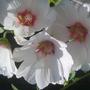 mallow (Lavatera trimestris (Mallow))