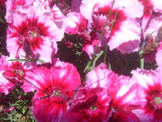 Dianthus (Dianthus amurensis (Amur Pink))