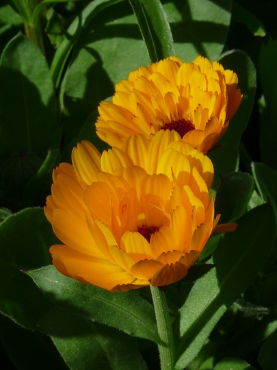 Calendula - Pot Marigold (Calendula officinalis (English marigold))
