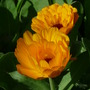 Calendula - Pot Marigold (Calendula officinalis (English marigold))