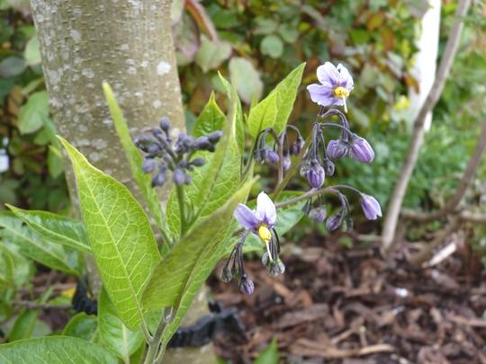 Solanum crispum 'Glasnevin' (Solanum Crispum Glasnevin)