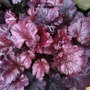 Heuchera americana 'Plum Pudding' (Heuchera americana 'Plum Pudding')