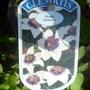 Clematis Florida var sieboldiana