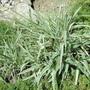 Ribbon grass (Phalaris arundinacea (Reed canary grass; Ribbon grass))