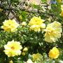 Golden Showers (Rosa)