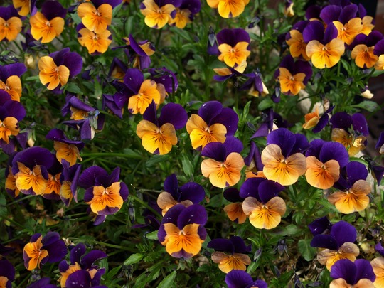Dual colour pansy