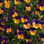 Dual_colour_pansy