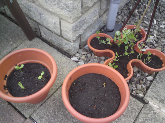 Sweet peas, sunflowers and lilies