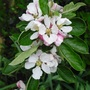 Apple Blossom (Malus domestica (Apple))