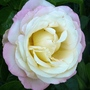 Peace rose fully open. (Rosa)