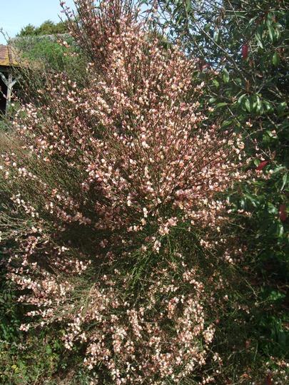 Cytisus scoparius 'Zeelandia' (Cytisus scoparius (Andreanus Broom))