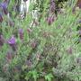 Lavandula stoechas var.papillon (French lavender) (Lavandula stoechas (French lavender))
