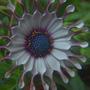 Osteospermum_whirligig
