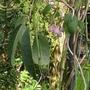Holboellia_latifolia_2012