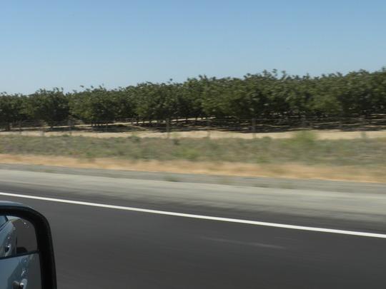 Pistacia vera - Pistachio Trees (Pistacia vera - Pistachio Tree)