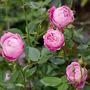 Rose : La Reine Victoria (Rosa multiflora (Rose))