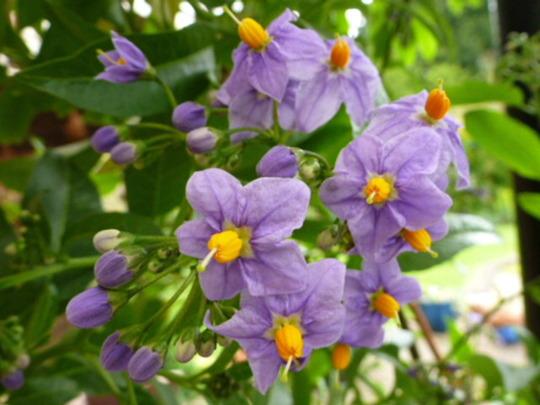 Solanum .crispum