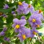 Solanum_crispum