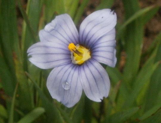 sisyrinchium sapphire (sisyrinchium sapphire)