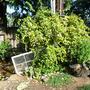 Star Jasmine - Honeysuckle - Spearmint (Trachelospermum jasminoides; Lonicera japonica; Mentha spicata)
