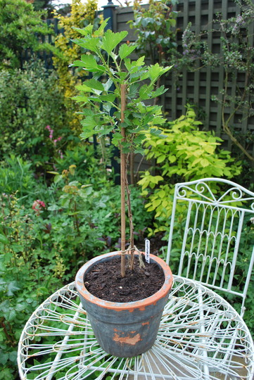 Red Gooseberry.... (Ribes uva-crispa (Gooseberry))