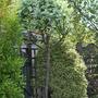 Sorbus.....(Whitebeam) (sorbus)