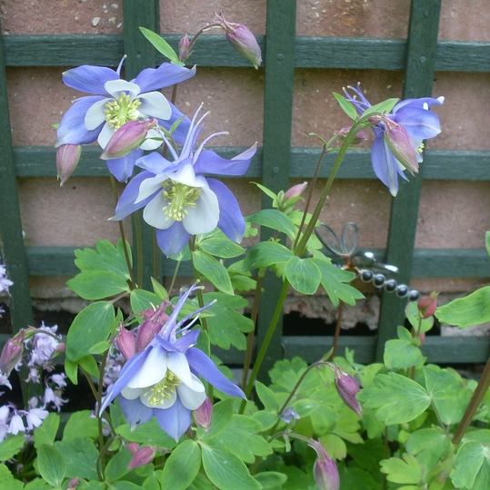 Blue & White Aquilegia