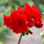 Red Pelargonium... (Pelargonium  red.)