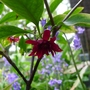 Illicium floridanum - 2012 (Illicium floridanum)