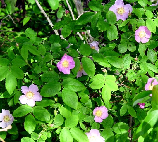 Minnesota Wild Roses